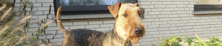 Airedale-Terrier vom St.Laurentius